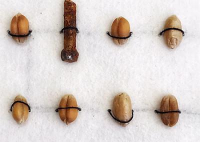 Triticum eins von vier, Getreide, Maschinenteile, Nahrungsmittelindustrie, Monokultur, Nähgarn